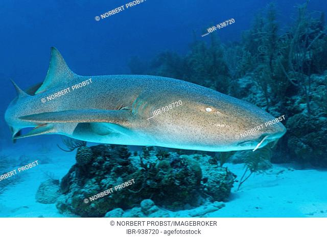 Nurse Sharks (Ginglymostoma cirratum) swimming amongst the coral reef in search of prey, barrier reef, San Pedro, Ambergris Cay Island, Belize, Central America