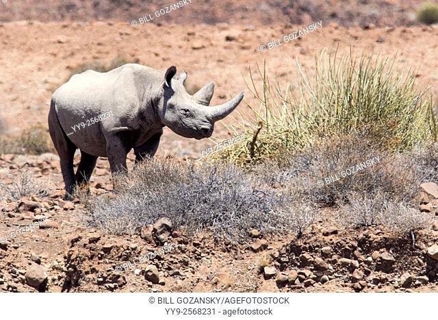 Black Rhino - Desert Rhino Camp, Palmwag Concession, Damaraland, Namibia, Africa