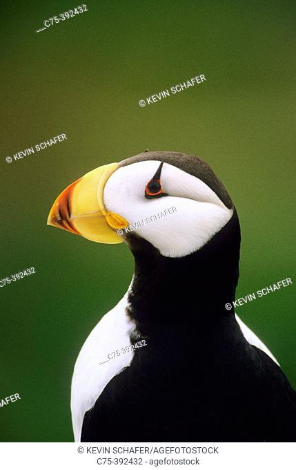 Horned Puffin (Fratercula corniculata). Talan Island, Sea of Okhotsk. Russia