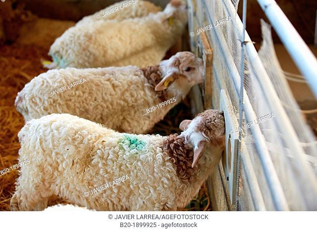Newborn lamb feeding  Sheep farm  Latxa breed  Gomiztegi Baserria, Arantzazu, Oñati, Gipuzkoa, Basque Country, Spain
