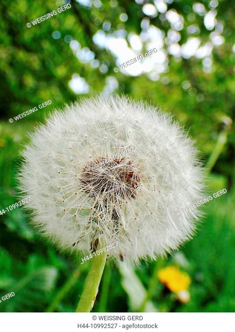 Flower, dandelion, Taraxacum Officinale, blowball, withered
