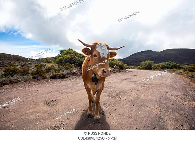 Landscape with cow on dirt track, Reunion Island