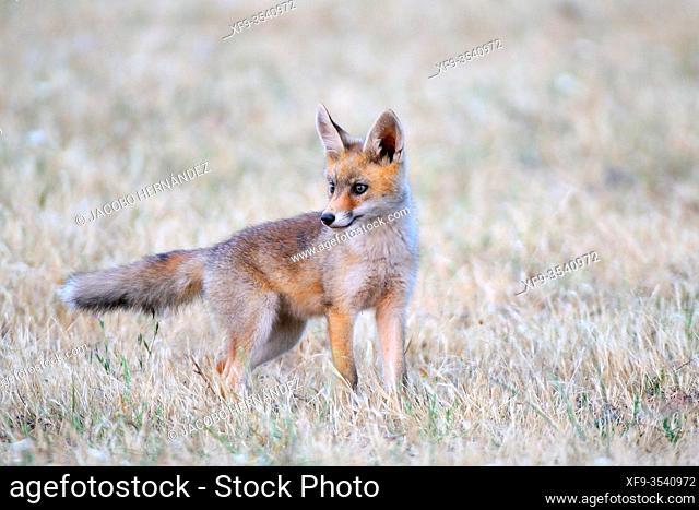 Young Red fox (Vulpes vulpes) Olivenza. Badajoz province. Extremadura. Spain