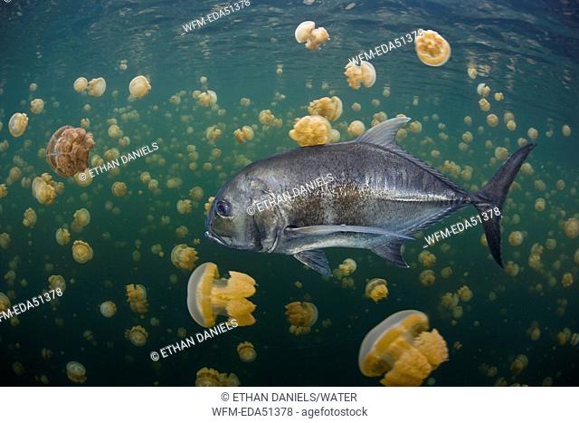 Large Giant Trevally between Mastigias Jellyfish, Caranx ignobilis, Misool, West Papua, Indonesia