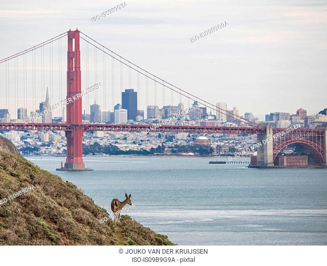 Golden Gate Bridge, Mule Deer (Odocoileus hemionus) in foreground, San Francisco, California, United States, North America