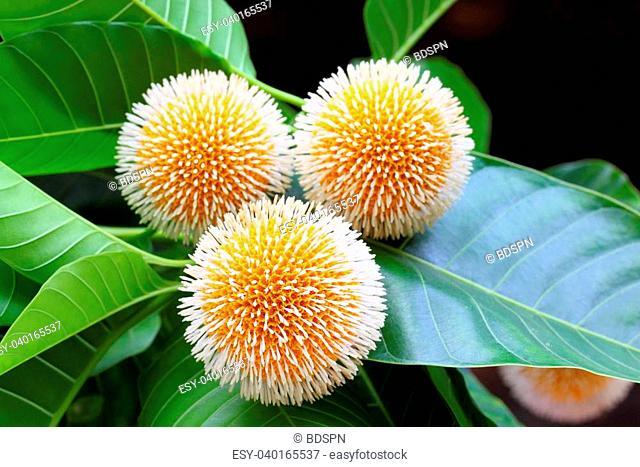 Neolamarckia cadamba or Kodom flower of Bangladesh