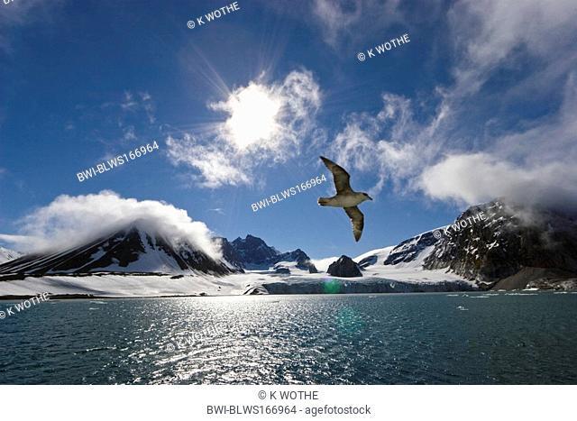 northern fulmar Fulmarus glacialis, flying in front of costal landscape, Norway, Svalbard, Hornsund