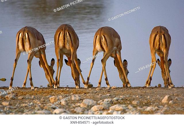 Black-faced Impala (Aepyceros melampus petersi) - Females, drinking water, Etosha National Park, Namibia