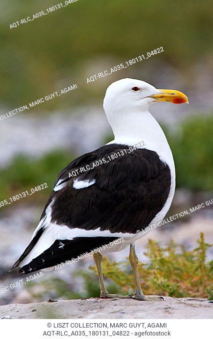 Larus dominicanus vetula, Cape Gull, Larus dominicanus, Kelp Gull