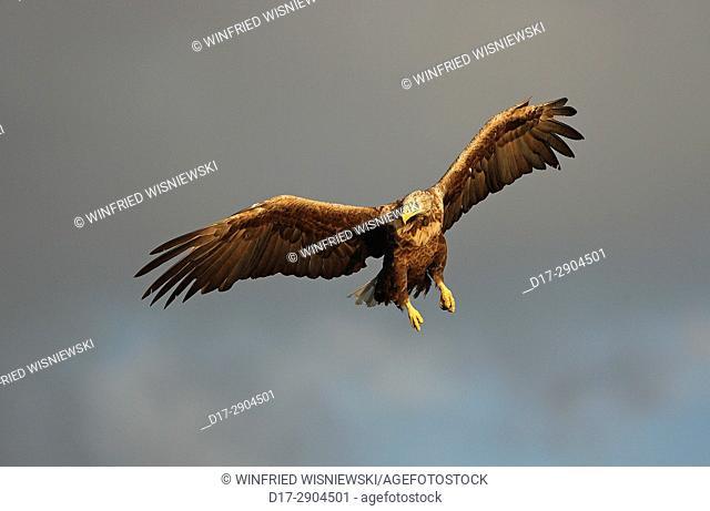 White-tailed sea-eagle (Haliaetus albicilla) in flight | Seeadler (Haliaetus albicilla) im Fluge, norwegische Kueste, Norwegen