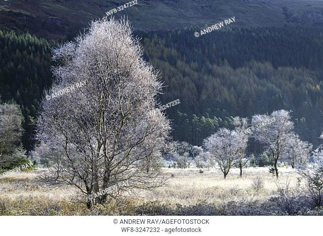 Frost covered tree's illuminated by early morning sunlight captured on a bitterly cold October morning at Glen Goil in the Loch Lomond and Trossachs National...