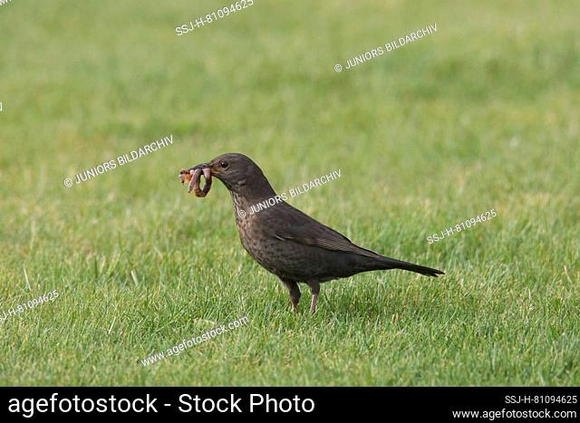 Blackbird (Turdus merula). Female collecting worms for chicks in garden