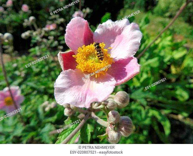 Herbstanemone - Anemone hupehensis
