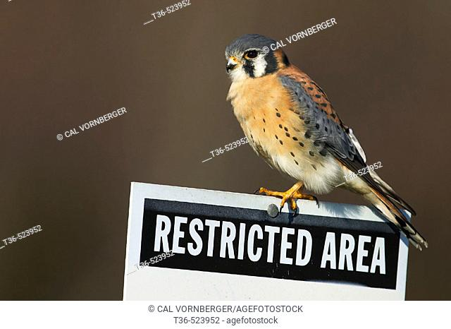 A male American Kestrel hunts from a Restricted Area sign at Floyd Bennett Field, part of Gateway National Recreation area in Brooklyn, New York. USA