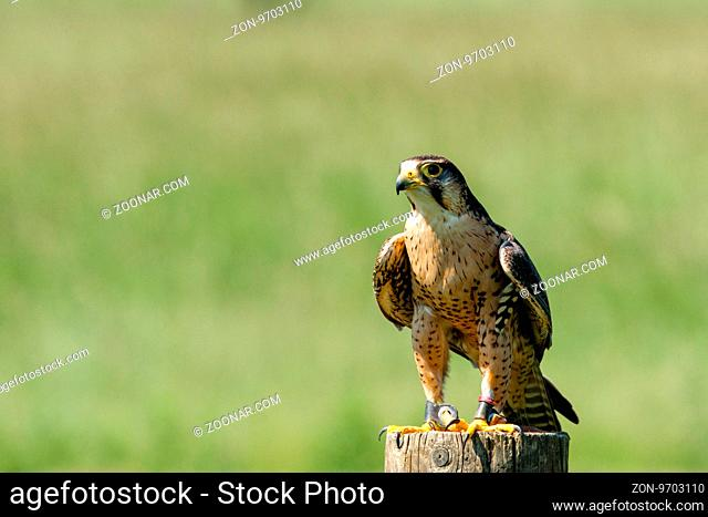 Small falcon on a wooden log in the nature