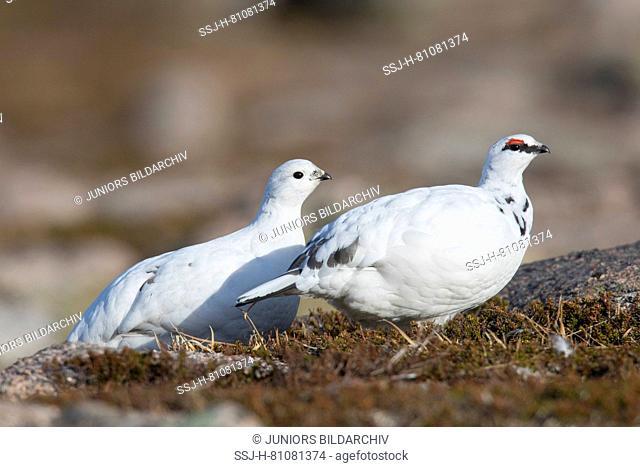 Rock Ptarmigan (Lagopus muta). Male and female in winter plumage. Cairngorms, Scotland