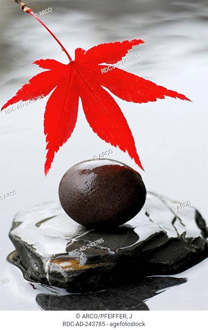 Japanese Maple leaf and round stone Acer japonicum