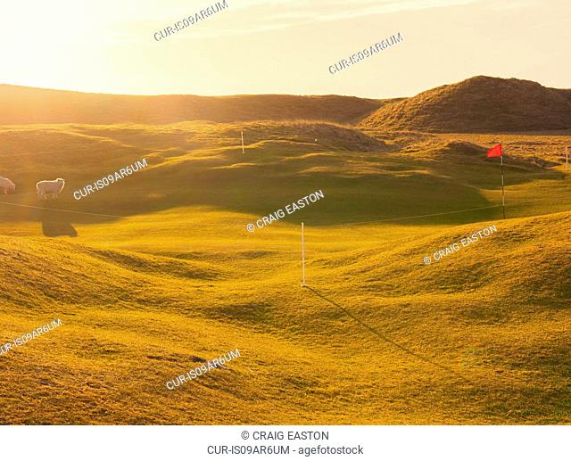 Sheep grazing on sunlit golf course, Isle of South Uist, Scotland, UK