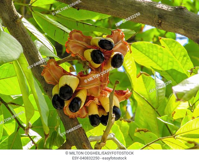 Ackee fruit tree bearing ripe ackee fruit