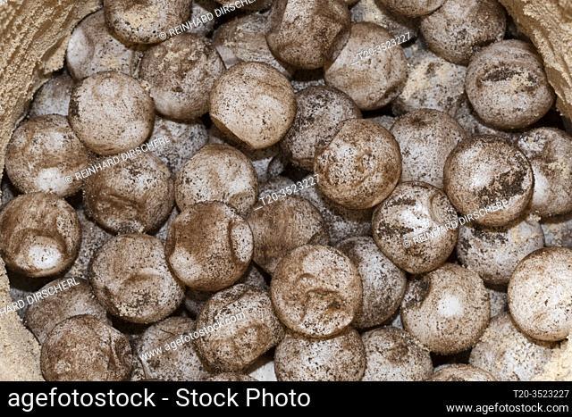 Eggs inside Sea turtle nest, Eretmochelys imbricata, New Ireland, Papua New Guinea