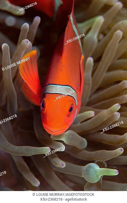 Spine-cheek Anemonefish, Premnas biaculeatus