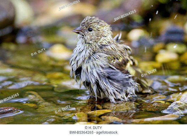 spruce siskin (Carduelis spinus), bathing female, Germany