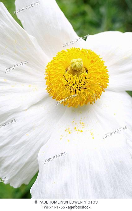 Poppy, Californian Tree Poppy, Romneya coulteri, White flower with yellow stamen growing outdoor.-