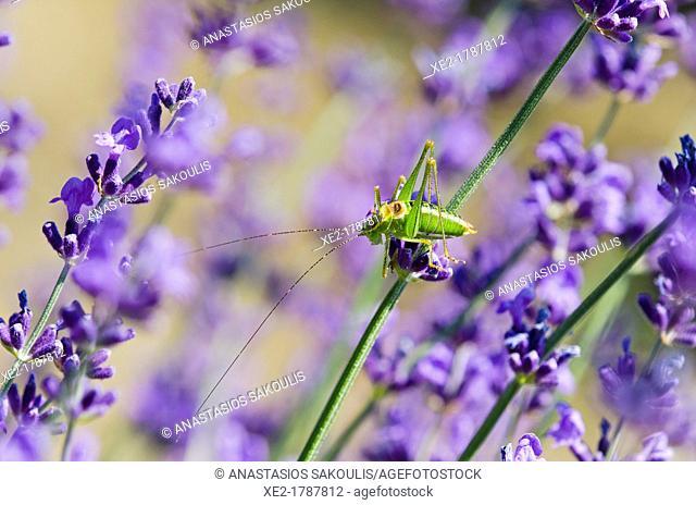 Tettigoniidae on Lavender, Greece