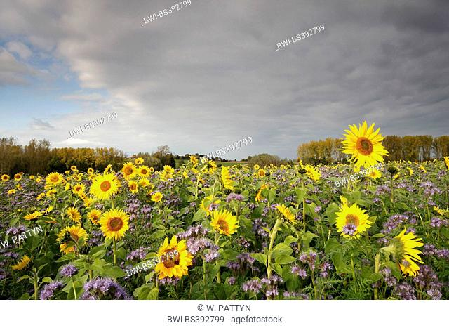common sunflower (Helianthus annuus), sunflower field with Phacelia, Belgium