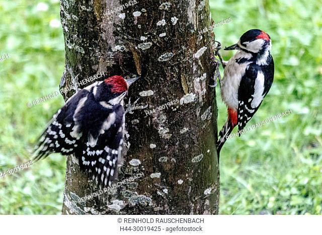 Junger Buntspecht bettelt durch Flügelschlagen bei seinem Altvogel um Futter
