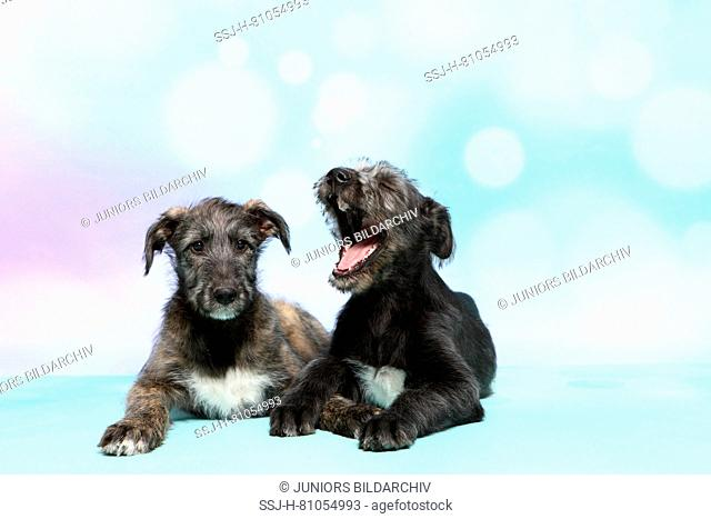 Irish Wolfhound. Two puppies (9 weeks old) lying next to each other, one of them is yawning. Studio picture against a blue background. Germany