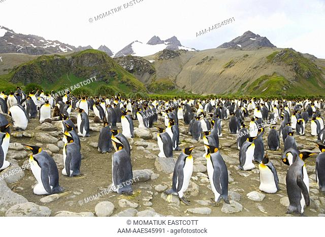 King Penguins (Aptenodytes patagonicus) in rookery, incubating eggs on rocky beach, fall, Gold Harbour, Southern Ocean, Antarctic Convergance