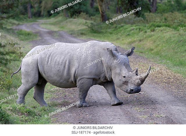 White Rhinoceros, Square-lipped Rhinoceros (Ceratotherium simum). Adult crossing a forest path. Lake Nakuru National Park, Kenya