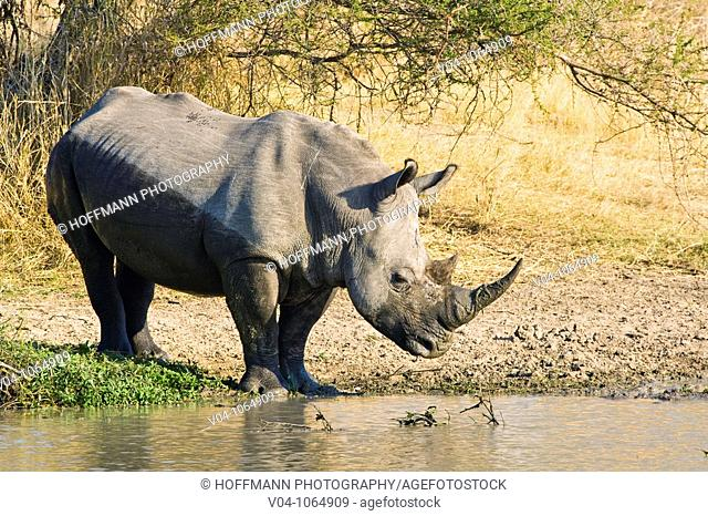 A white rhino (Ceratotherium simum) taking a mud bath in South Africa