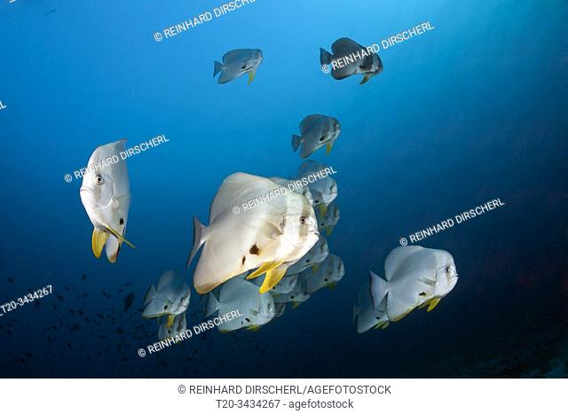 Shoal of Longfin Batfish, Platax teira, Ari Atoll, Indian Ocean, Maldives