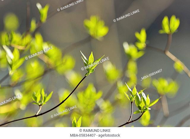 Fresh Leaves in Spring, Kleinheubach, Churfranken, Spessart, Bavaria, Germany