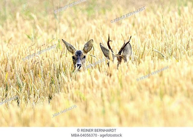 deers in grain-field