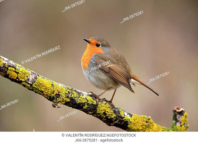 Robin (Erithacus rubecula) in the region Alto Palancia. Castellón
