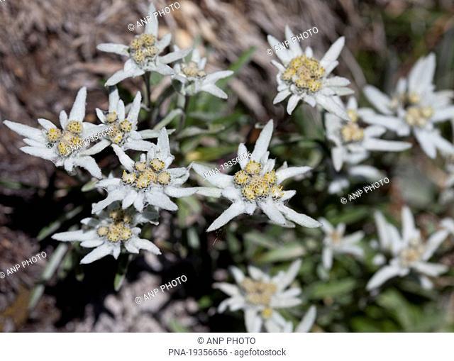 Edelweiss Leontopodium alpinum - Molines-en-Queyras, Alps, Hautes-Alpes, Provence-Alpes-CÖte dıAzur, France, Europe
