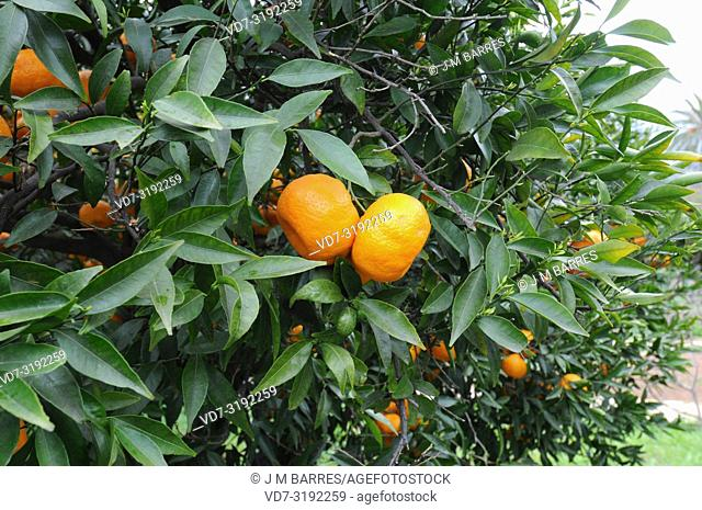 Mandarin orange (Citrus reticulata) is a small tree native to south China. Its fruits (mandarines) are edible. Fruits and leaves detail