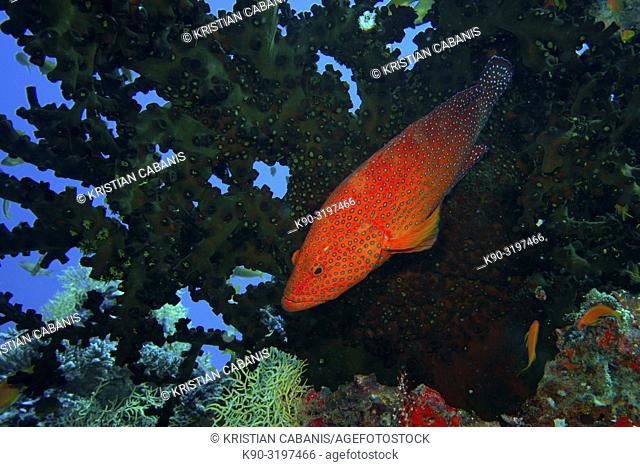 Blackfin Rock Cod (Cephalopholis nigripinnis) seen from above in front of a big coral, Indian Ocean, Maledives, South Asia