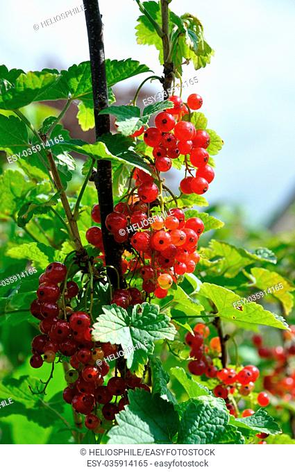 Redcurrant plant with berries