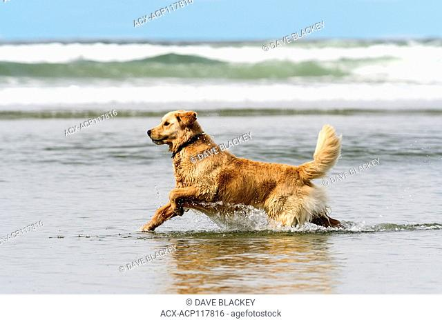 A Golden Retriever running through the surf on Chesterman Beach near Tofino, British Columbia