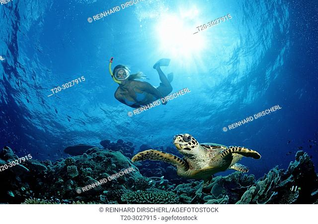 Hawksbill Turtle and Skin Diver, Eretmochelys imbricata, Maldives, Indian Ocean, Meemu Atoll