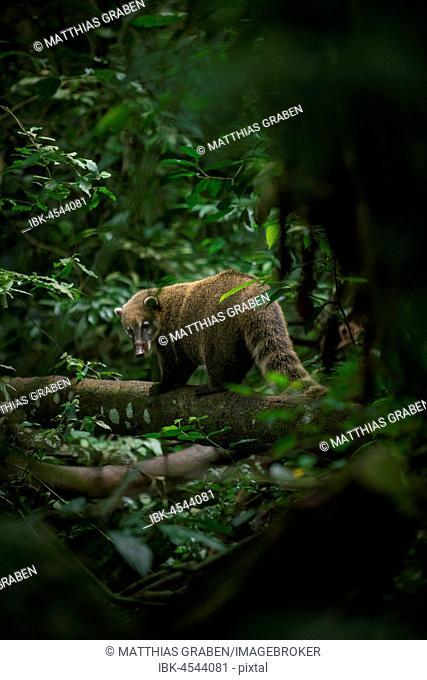 Ring-tailed coati (Nasua nasua) climbing on tree in dense jungle, Parque Nacional do Iguaçu, Paraná, Brazil