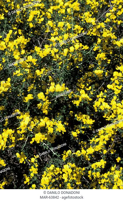 calicotome spinosa flowers, elba island, italy