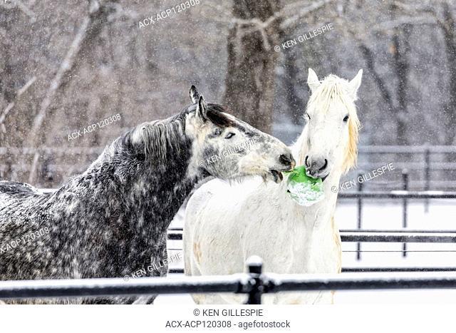 Playful Percheron horses in winter, McFeeters Heavy Horse Centre, Winnipeg, Manitoba, Canada