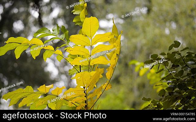 Bosque de nogales (Juglans regia). Almansa. Albacete. Walnut forest