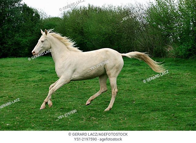 AKHAL TEKE, A HORSE FROM TURKMENISTAN