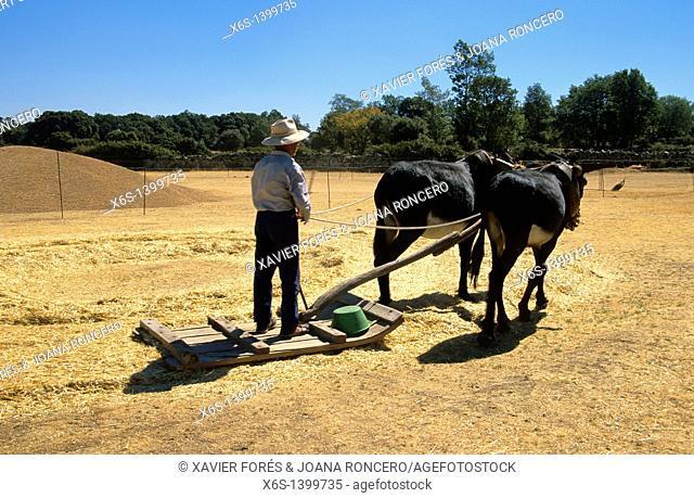 Farmer threshing, Arribes del Duero, Salamanca, Spain